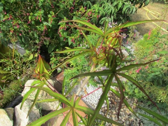Hibiscus coccineus - Page 20 K4guhi