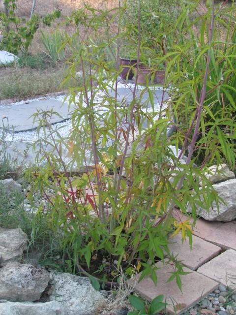 Hibiscus coccineus - Page 21 Mc6jgb