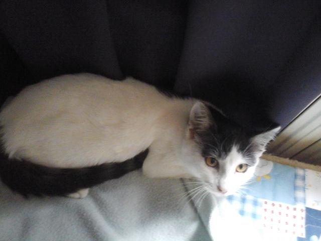 Léo - chaton (adopté dec 2015) 70doya