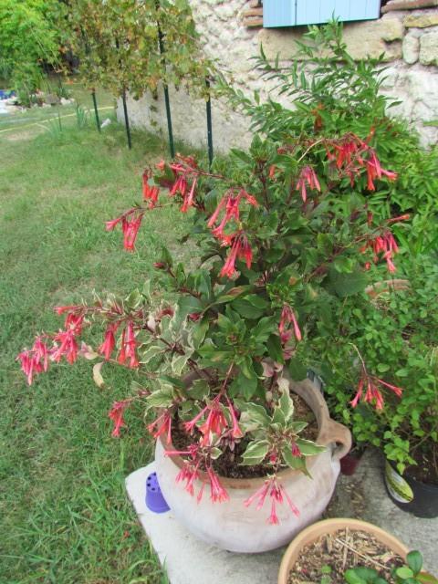 Fuchsia ? : Fuchsia triphylla 'Firecracker Kwqnu7